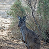 Kangroo 2 - Mungo National Park, New South Wales, Australia