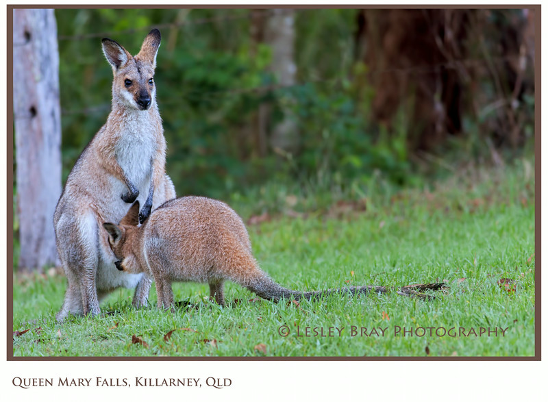 Wallaby with her Teenage Joey