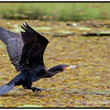 Great Cormorant Taking Off