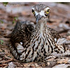 Bush Stone-curlew and chick