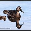 Pacific Black Duck & Ducklings
