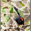 Male Red-backed Fairy-wren