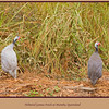 A pair of Helmeted Guinea Fowls, Numida meleagris, scampering for cover beside the road as we passed on our way to Mareeba Wetlands. Mareeba, Atherton Tableland, North Queensland, Australia.   Photographed July 2010 - © 2010 Lesley Bray Photography - All Rights Reserved.