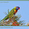 Rainbow Lorikeet, <i>Trichoglossus haematodus</i>, at Victoria Point, Redland, Queensland, Australia.  Photographed November 2012 - © 2012 Lesley Bray Photography - All Rights Reserved.