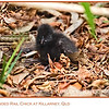 Buff-banded Rail Chick