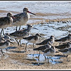 Bar-tailed Godwits, Great Knot and Curlew Sandpipers
