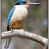 Female Sacred Kingfisher