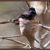 Grey Fantail on Nest