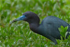 Little Blue Heron with Dragonfly appetizer on Avery Island.