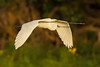 Great Egret carrying a twig back to its nest at Bird City.