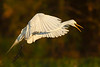 Great Egret preparing to land at Avery Island's Bird City.