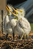 By late March, Great Egret chicks appear in the nests at Bird CIty.