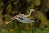 This Tricolored Heron flew low over the Great Egret platforms at Avery Island's Bird City.