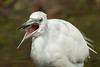 """Immature Little Blue Heron """"flipping"""" that juicy bug."""