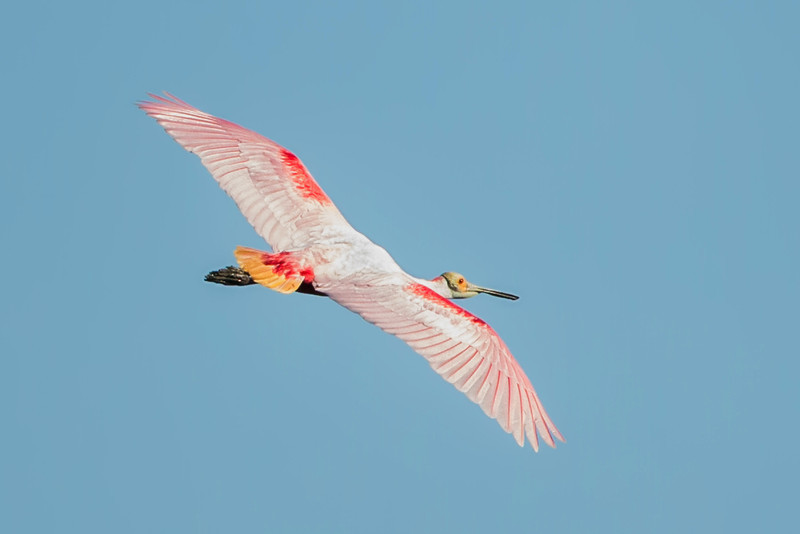 Roseate Spoonbill in Bird City at Avery Island's Jungle Gardens.