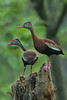 Black-bellied Whistling Ducks on Avery Island.