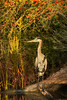Great Blue Heron surrounded by fall colors along the Bayou Tech that borders Avery Island.