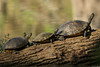Turtles on Avery Island.