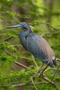 Tri-colored Heron on Avery Island.