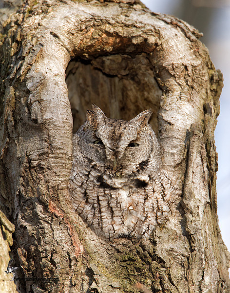 Eastern Screech Owl (Grey-Morph)Firestone Park, Ohio