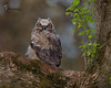 "<center><font face=""Century Gothic"" size=""+1"" color=""#FFFFFF"">Great Horned Owl <font face=""Century Gothic"" size=""+1""><center><font color= #377915>Brecksville Reservation, Ohio"
