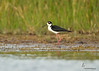 Black-necked Stilt Fort Myers, Florida