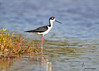 "<center><font face=""Century Gothic"" size=""+1"" color=""#FFFFFF"">Black-necked Stilt <font face=""Century Gothic"" size=""+1""><center><font color= #377915>Bailey Tract, Florida"