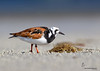 Ruddy Turnstone Bunche Beach Preserve, Florida