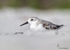 Sanderling (juvenile) Sanibel Island Beach, Florida
