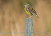<center> <font>Eastern Meadowlark <font></font></font><center><font>Viera Wetlands, Florida</font></center> </center>