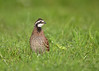 "<center><font face=""Century Gothic"" size=""+1"" color=""#FFFFFF"">Northern Bobwhite <font face=""Century Gothic"" size=""+1""><center>Springfield Bog, Ohio<font color=""#377915""></font></center></font></font></center>"