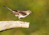 <center><font> Northern Mockingbird</font></center><font></font><center><font>Ocala, Florida</font></center>