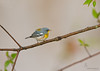 "<center><font face=""Century Gothic"" size=""+1"" color=""#FFFFFF"">Northern Parula</font></center><font face=""Century Gothic"" size=""+1"" color=""#3366FF""><center><font color=""#377915"">Shawnee State Park, Ohio</font></center></font>"
