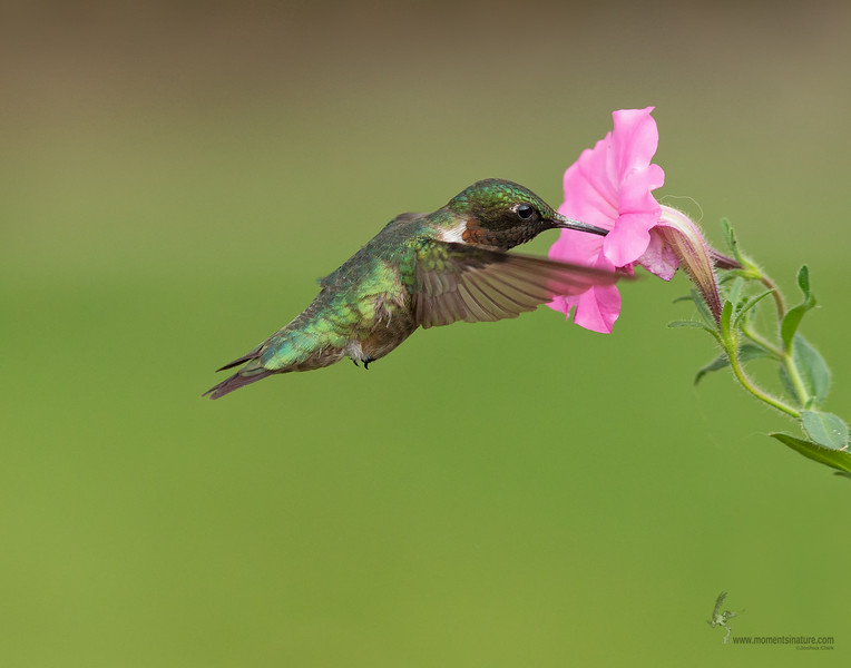 <center><font>Ruby-throated Hummingbird</font></center><font></font><center><font>Freedom, Ohio</font></center>