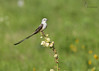 <center><font> Scissor-tailed Flycatcher</font></center><font></font><center><font>Dallas, Texas</font></center>