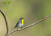 "<center><font face=""Century Gothic"" size=""+1"" color=""#FFFFFF"">Yellow-throated Warbler</font></center><font face=""Century Gothic"" size=""+1"" color=""#3366FF""><center><font color=""#377915"">Shawnee State Park, Ohio</font></center></font>"
