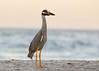 "<center><font face=""Century Gothic"" size=""+1"" color=""#FFFFFF"">Yellow-crowned Night Heron <font face=""Century Gothic"" size=""+1""><center><font color= #377915>Sanibel Island, Florida"