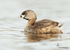 "<center><font face=""Century Gothic"" size=""+1"" color=""#FFFFFF"">Pied-billed Grebe</font></center><font face=""Century Gothic"" size=""+1"" color=""#3366FF""><center><font color= #377915>Tinkers Creek State Nature Preserve, Ohio"