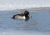 "<center><font face=""Century Gothic"" size=""+1"" color=""#FFFFFF"">Ring-necked Duck</font></center><font face=""Century Gothic"" size=""+1"" color=""#3366FF""><center><font color=""#377915"">Portage Lakes, Ohio</font></center></font>"