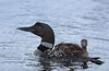 Common Loon (Gavia immer) with chick