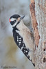 Hairy Woodpecker (picoides villosus) in snow storm