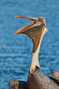Brown Pelican (pelacanus occidentalis)