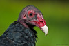 Turkey Vulture (cathartes aura) - captive