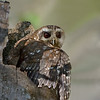 Bare-legged Owl (fmr. Cuban Screech-Owl)