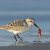 Sanderling, juvenile with worm