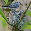 Blue-gray Gnatcatcher at nest