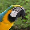 Blue and Yellow Macaw (c)