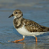 Ruddy Turnstone, non-breeding