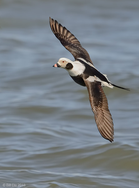 Longtailed Duck drake in flight