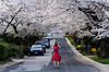 Cherry Blossoms <br /> Kenwood Apr 2014